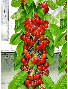 Колоновидная черешня Красная помада в Евпатории