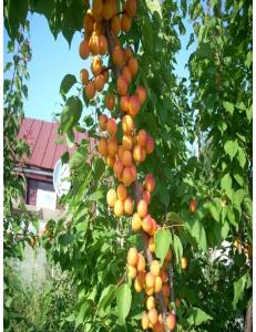 Колоновидный абрикос Первайс в Евпатории