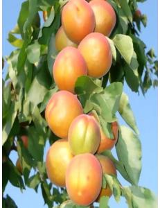 Колоновидный абрикос Радости жизни в Евпатории