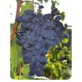 Виноград Викинг в Евпатории