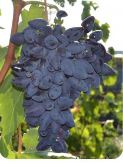 Саженцы Винограда Викинг в Евпатории