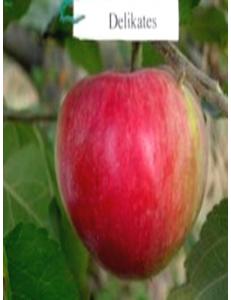 Яблоня Деликатес в Евпатории