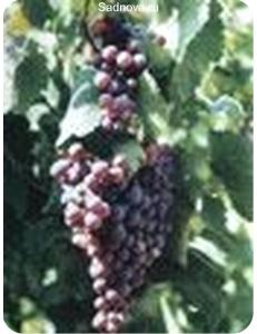 Виноград Агат Донской в Евпатории