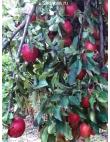 Яблоня Рихард в Евпатории