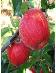 Яблоня Гала Галакси в Евпатории