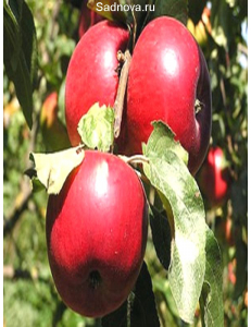 Яблоня Катерина в Евпатории