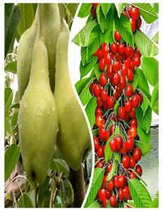 Комплект из 2-х сортов в Евпатории - Колоновидная груша Видная + Колоновидная черешня Красная помада