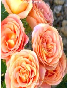 Роза Экзотика в Евпатории