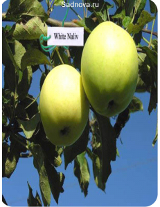 Яблоня Белый Налив в Евпатории