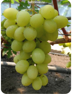 Виноград Валек в Евпатории