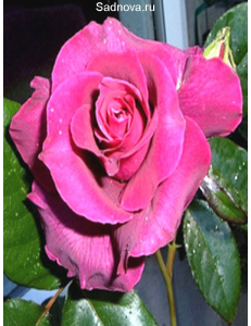 Роза Биг Парпл в Евпатории