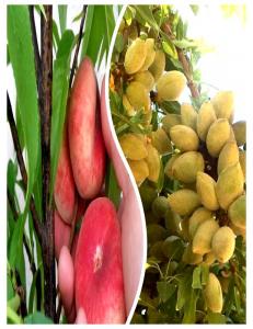 Комплект из 2-х сортов в Евпатории - Миндаль Нонпарель + Инжирный персик Маршмеллоу
