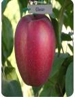 Яблоня Глостер в Евпатории