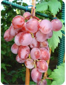Виноград Виктория в Евпатории