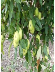 Яблоня Гренни Смит в Евпатории