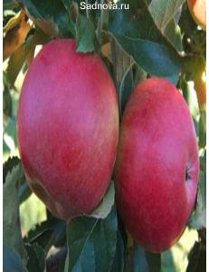 Яблоня Айдаред в Евпатории