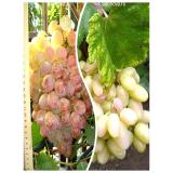 Комплект из 2-х сортов в Евпатории - Виноград Преображение + Виноград Фламинго