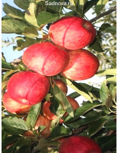 Яблоня Книп-Баум Галла Мондиал в Евпатории