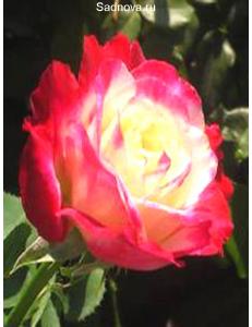 Роза Дабл Дилайт в Евпатории