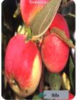 Яблоня Мельба в Евпатории