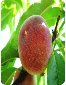 Персик Красная Девица в Евпатории