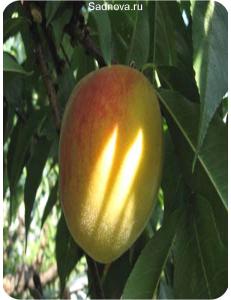 Персик Золотой Юбилей в Евпатории