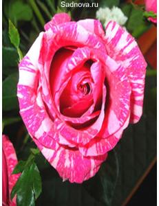 Роза Сатина в Евпатории
