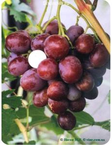 Виноград Атаман в Евпатории