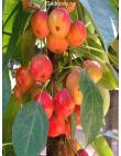 Яблоня Райская Яблоня в Евпатории