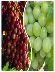 Комплект из 2-х сортов в Евпатории - Виноград Граф Монте Кристо + Виноград Александрит
