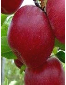 Яблоня Джонатан в Евпатории