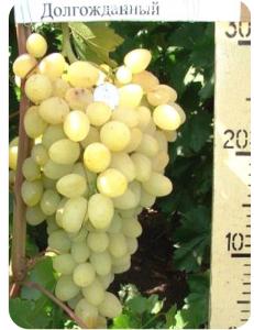 Виноград Долгожданный в Евпатории
