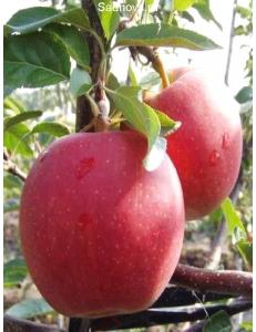 Яблоня Гала Маст в Евпатории