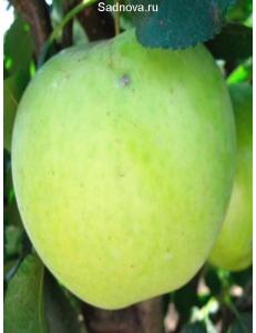 Яблоня Гринсливз в Евпатории
