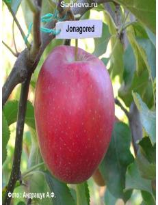 Яблоня Джонагоред в Евпатории