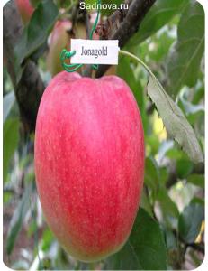 Яблоня Джонаголд в Евпатории