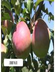 Яблоня Лигольд в Евпатории