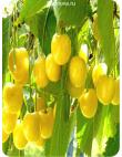 Черешня Дрогана Желтая в Евпатории