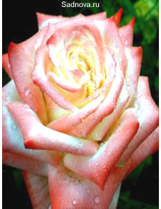 Роза Императрица Фарах в Евпатории