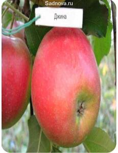 Яблоня Джина в Евпатории