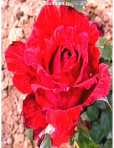 Роза Ред Интуишн в Евпатории