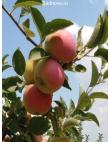 Яблоня Слава Победителям в Евпатории