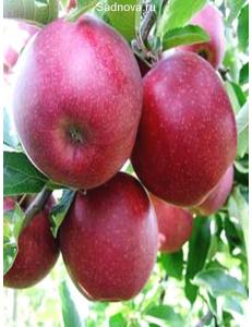 Яблоня Книп-Баум Ред Джонапринц в Евпатории