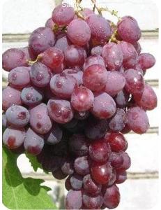 Виноград Гелиос в Евпатории