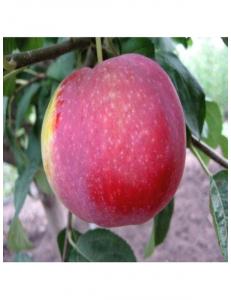 Яблоня Виста Белла в Евпатории