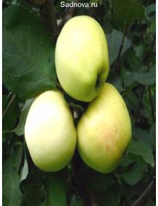 Яблоня Кальвиль Снежный в Евпатории