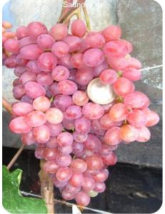 Виноград Велес в Евпатории
