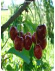 Черешня Крупноплодная в Евпатории