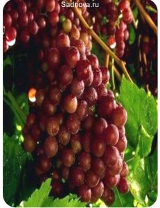 Виноград Граф Монте Кристо в Евпатории