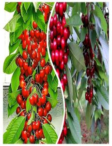 Комплект из 2-х сортов в Евпатории - Колоновидная черешня Красная помада + Колоновидная черешня Квин Мери